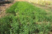 coltivazioni a Feledareb